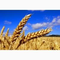 Куплю пшеницу яровую