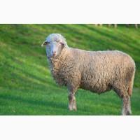 Ягнята, овцы, бараны карпатской породы
