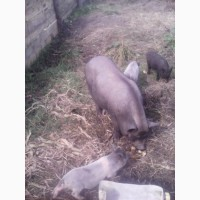 Свиноматка вьетнамская, поросята
