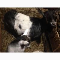 Продам безрогу козу і козенятко
