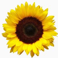 Добрий день, продаємо олію соняшникову нерафіновану фільтровану 1 сорту
