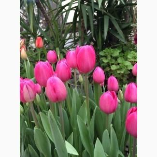 Тюльпаны, крокусы, ирисы