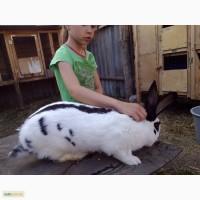 Продажа: племенная порода кроликов - Немецкий пестрый великан-Строкач