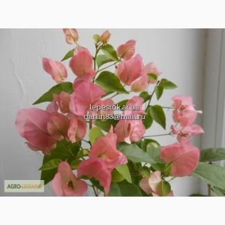 Бугенвиллия Australion Pink(нежно-розовая)
