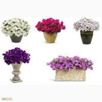 Саженцы (черенки) рассада цветов. Принимаем заказы на 2018 год