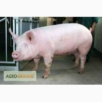Покупаем свинину в живом весе (в любых обьемах)