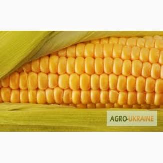 Семена кукурузы Солонянский, Днепровский, Подольский. Доставка бесплатно