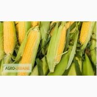 Посевной материал Кукуруза Ривъера Оргинатор Семанс Франция Высокий потенциал урожайности