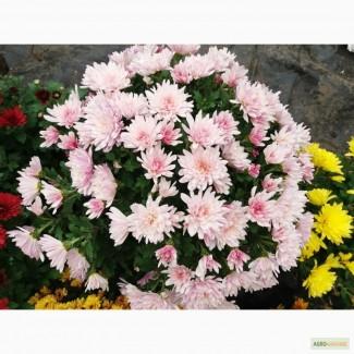 Розсада(черенок)хризантем