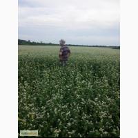 Продам семена гречихи Арно ( ARNO), первая репродукция