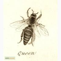 Бджоломатки (пчеломатки) карпатка, карпатской породы 2017
