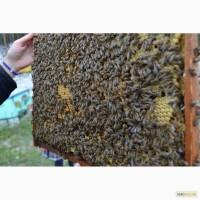 Продаю пчёлы карпатка