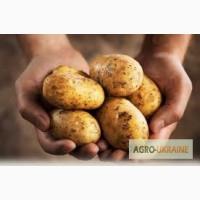 Продам молодой картофель оптом, Николаевская обл