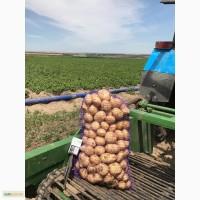 Продам молодой картофель оптом от производителя