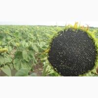 Сорт подсолнечника Люкс - кондитерка (семена)