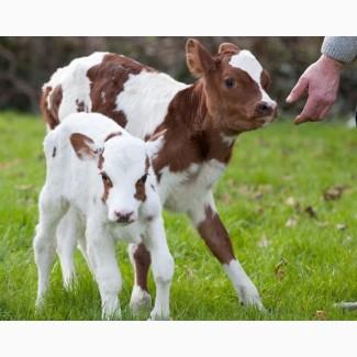 Куплю оптом молочных телят(бычков)