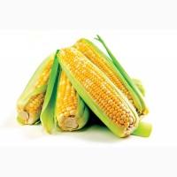 Семена кукурузы G Host GS 95 F21(Джи Хост) ФАО 210