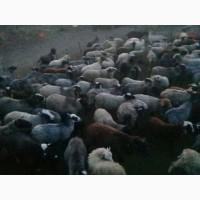 Продам овец, романовской породы