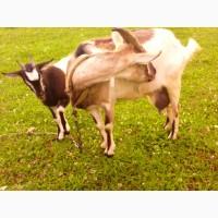 Продам кози