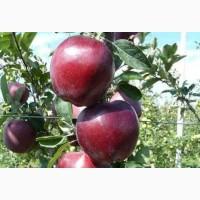 Куплю яблука, сорту Ред Делішес, Ред Чіф, Ріхард, Джеромін, Голден. Від 20тонн