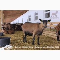 Взрослые козы Альпийской породы - Выбраковка из основного стада