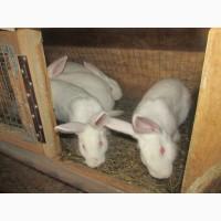 Продам кролів термонців