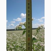 Насіння гречки, семена сорта гречихи florida