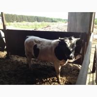 Продаем бычков весом 200-300 кг