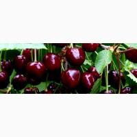 Черешня цена 17 грн. супер сладкая сорт мелитопольская ОПТ