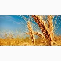 Підприємство закуповує пшеницю
