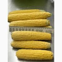 Продам супер солодку кукурудзу в початках ! Сорт Добриня 2019р ОПТ 40 000 тис шт