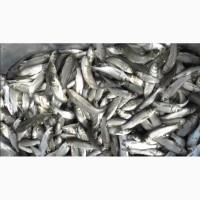 Продам рыбу товарную, зарыбок толстолоба, карп, карась, щука, судак