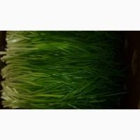 Продам зелёный лук перо