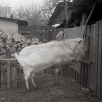Зааненский племенной козёл : чистокровный, с документами