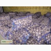 Продам товарный картофель отличного качества, разные сорта от 20 тонн