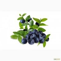 СМАЧНИЙ ЧАЙ із листя та бруньків чорниці!!! (Вкусный чай из листьев и стебелей черники)