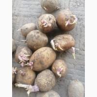 Продам отборную семенную картошку, сорт Санте.Мелоди Калибр 3-4. 1 репродукция