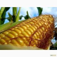 Продам, Купить семена кукурузы Полтава 960 грн