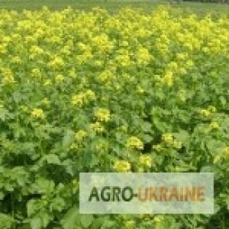 Продам семена Горчицы желтой Дижонка -Черниговская обл