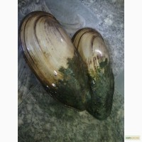 Продам речковые моллюски