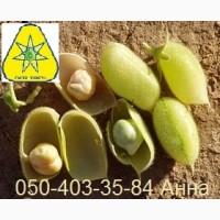 Семена нут Буджак от ООО Дер Трей