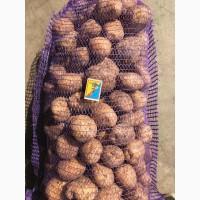 Картопля Рів#039;єра продовольча