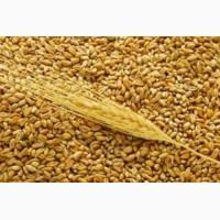 Продам фуражну пшеницюВолинська обл