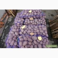Продам картофель сорт бела росса без гнили без дротянки калибр 6-8 в идеальном качестве