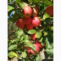 Продам яблука Гала рояль
