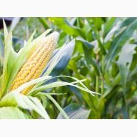 Семена кукурузи Зернослав ФАО 230 (Селекта Сидс)