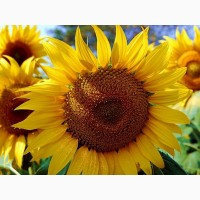 ЕС Ніагара - насіння соняшнику