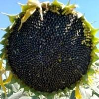 Семена подcолнечника NEWTON