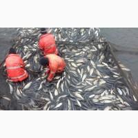 Рыбопосадочный материал карпа и толстолобика (зарыбок)