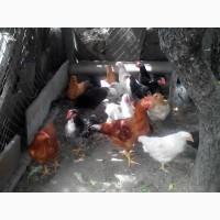 Цыплята домашние разних пород подрощенные и суточные г.Беляевка